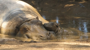 A hippo born at Melbourne's Werribee Zoo is doing well and is already putting mum through her paces. Photo: AAP